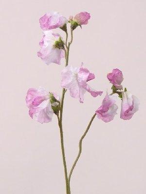 Lathyrus, roze-lila