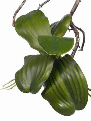 Los orchidee blad, 31cm