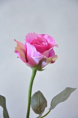 Roos 57cm, paars