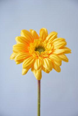 Gerbera 45cm, geel