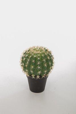 Melocactus Violaceus in pot 24cm
