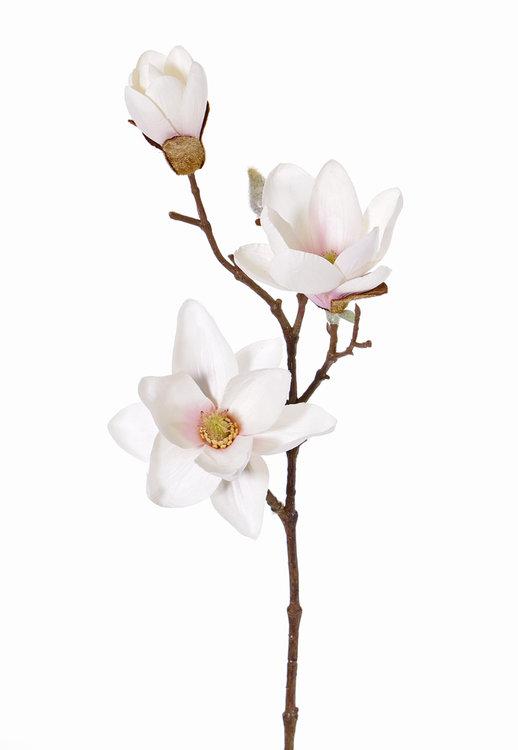 12x Magnolia (Beverboom) 3 bloemen