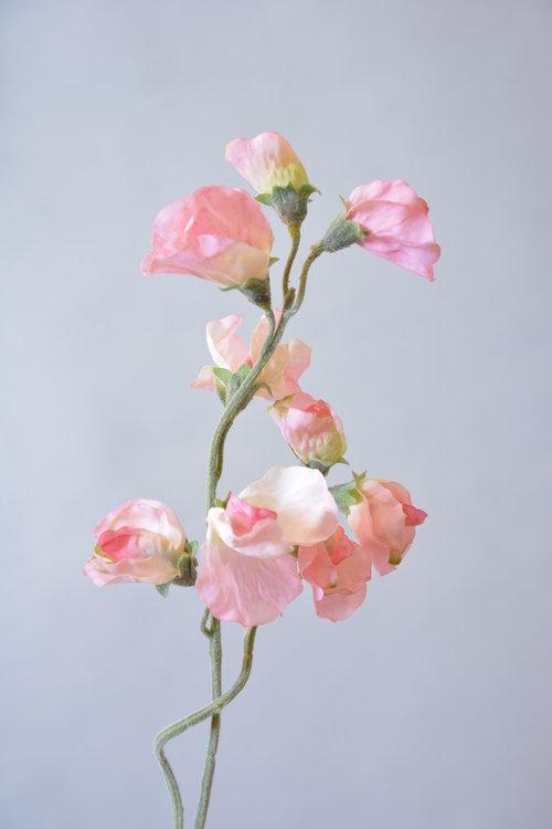 Lathyrus, roze