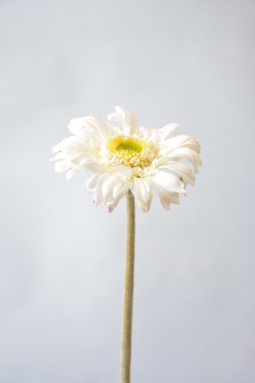 Gerbera 48cm, wit