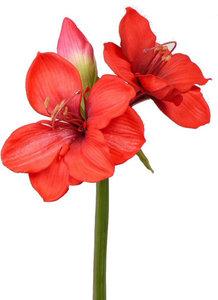 Amaryllis 60cm, rood