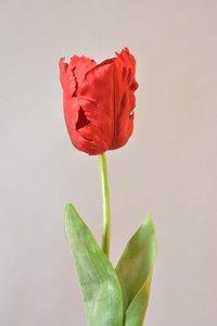 Parrot tulp, rood