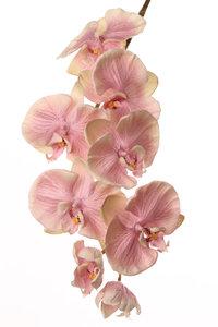 "Phalaenopsis ""Allure"", 75cm"